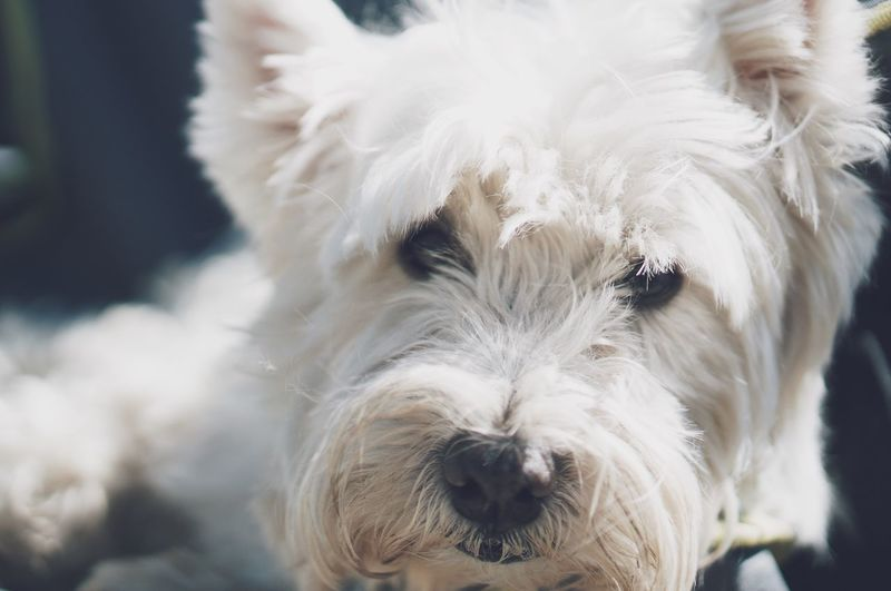 Benny just chillin Dog Portrait Terrier White Pet Cute Selective Focus Snout Relaxing West Highland White Terrier Canine Pet Photography