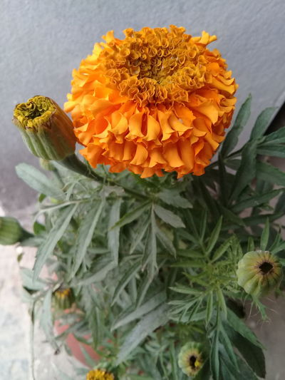 Marigold Flower Fragility Beauty In Nature Flower Head Plant Nature Growth Freshness Day Petal No People Close-up Outdoors