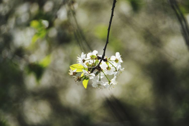 Bokeh Bokeh Photography Flower Branch Close-up Plant Twig Apple Blossom Apple Tree Blossom In Bloom Plant Life