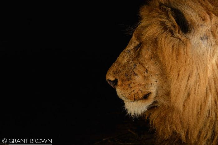 A couple lion shots from the Sabi Sands Animal Themes BIG Big Eyes D7100 Lion Lion Cub Lion Moon Night Photography Nikon S Sabi Sands Sabi Sands Small Wild Wildlife