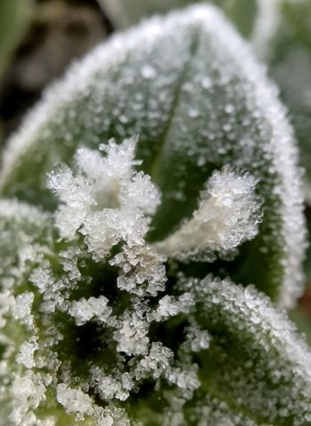 Frosted flowers early in the morning. Frost Ice Crystal Frosty Flower Frosty Leaves Macro Close-up Frozen Winter Cold Temperature Green Color Ice Leaf Flower Frosty Mornings Frost Frosty Ice Crystals Beauty In Nature Winter No People Sugar Coated Frosted