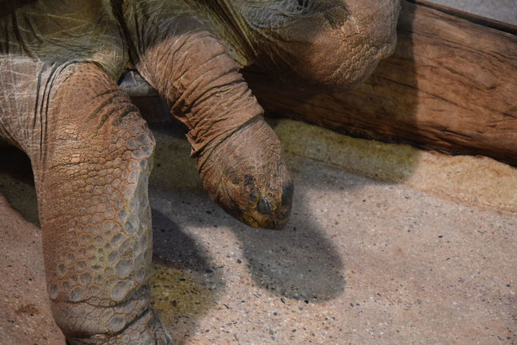 High Angle View Of Giant Tortoise Relaxing On Field