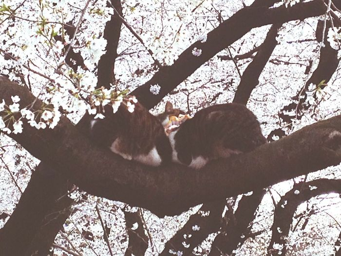 Cherry Blossoms Cherry Tree Cats Cats On The Tree Two Cats On The Cherry Tree Ueno Park Springtime Love