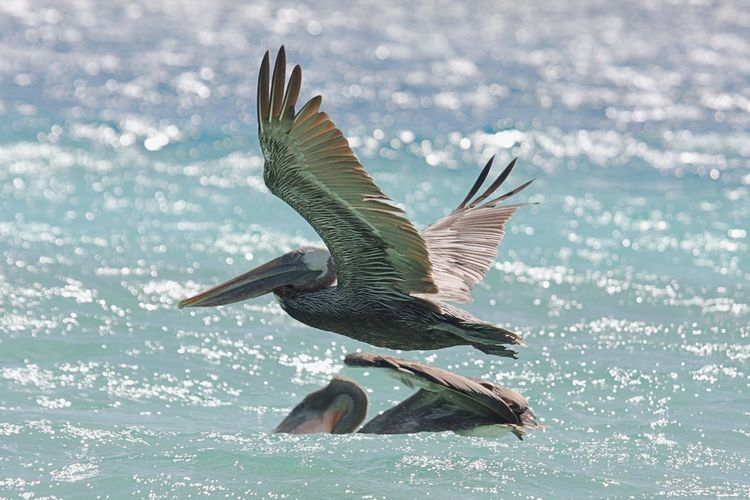 Animal Themes Animal Wildlife Animals In The Wild Beauty In Nature Bird Day Flying Mid-air Motion Nature No People One Animal Outdoors Pelican Pelican In Flight Sea Spread Wings Water