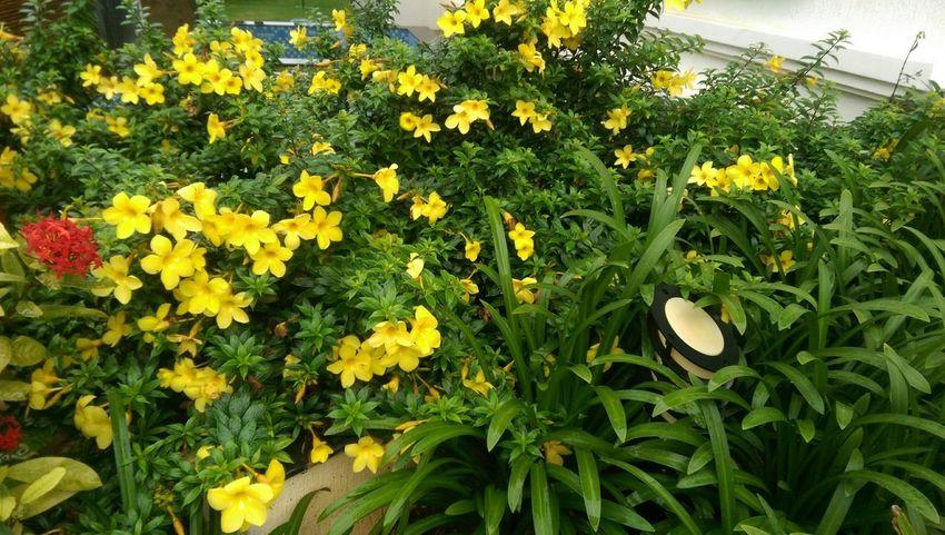 Yellowflower Flower Flowerporn Flowering Bushes Beautiful