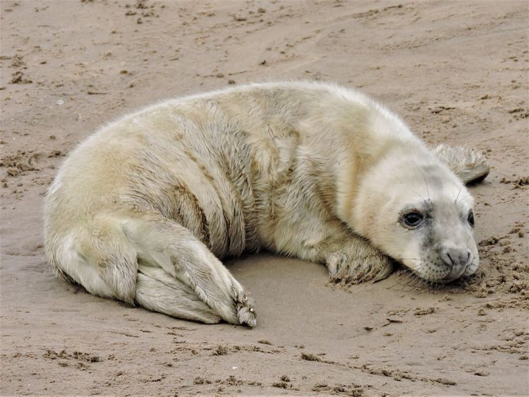 EyeEm Nature Lover Sealife Animal Themes Day Donna Nook Lincolnshire Coast Mammal Nature No People One Animal Outdoors Sand Seal Sealpup Young Animal