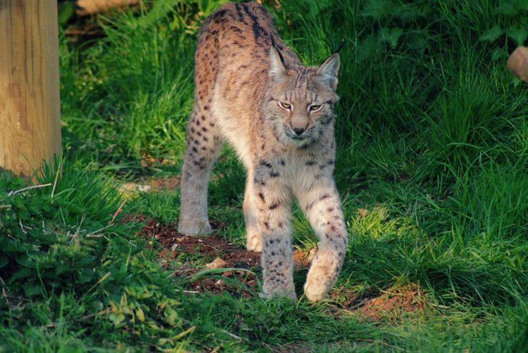 Animal Wildlife Eyem Best Shots Nature_collection Animals In The Wild Walking Animal Themes Mammal One Animal Young Animal Big Cat Feline Grass Outdoors Nature EyeEm Beauty In Nature Cat Prowling Adventure Rare Limited Beautiful