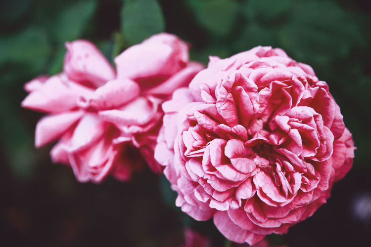 Beauty In Nature Blooming Blossom Botany Close-up Day Flower Flower Head Focus On Foreground Fragility Freshness Growth In Bloom Nature No People Outdoors Petal Pink Color Plant Rose - Flower Selective Focus Softness Summer Nature's Diversities