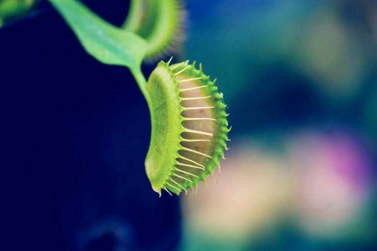 Close-up of venus flytrap