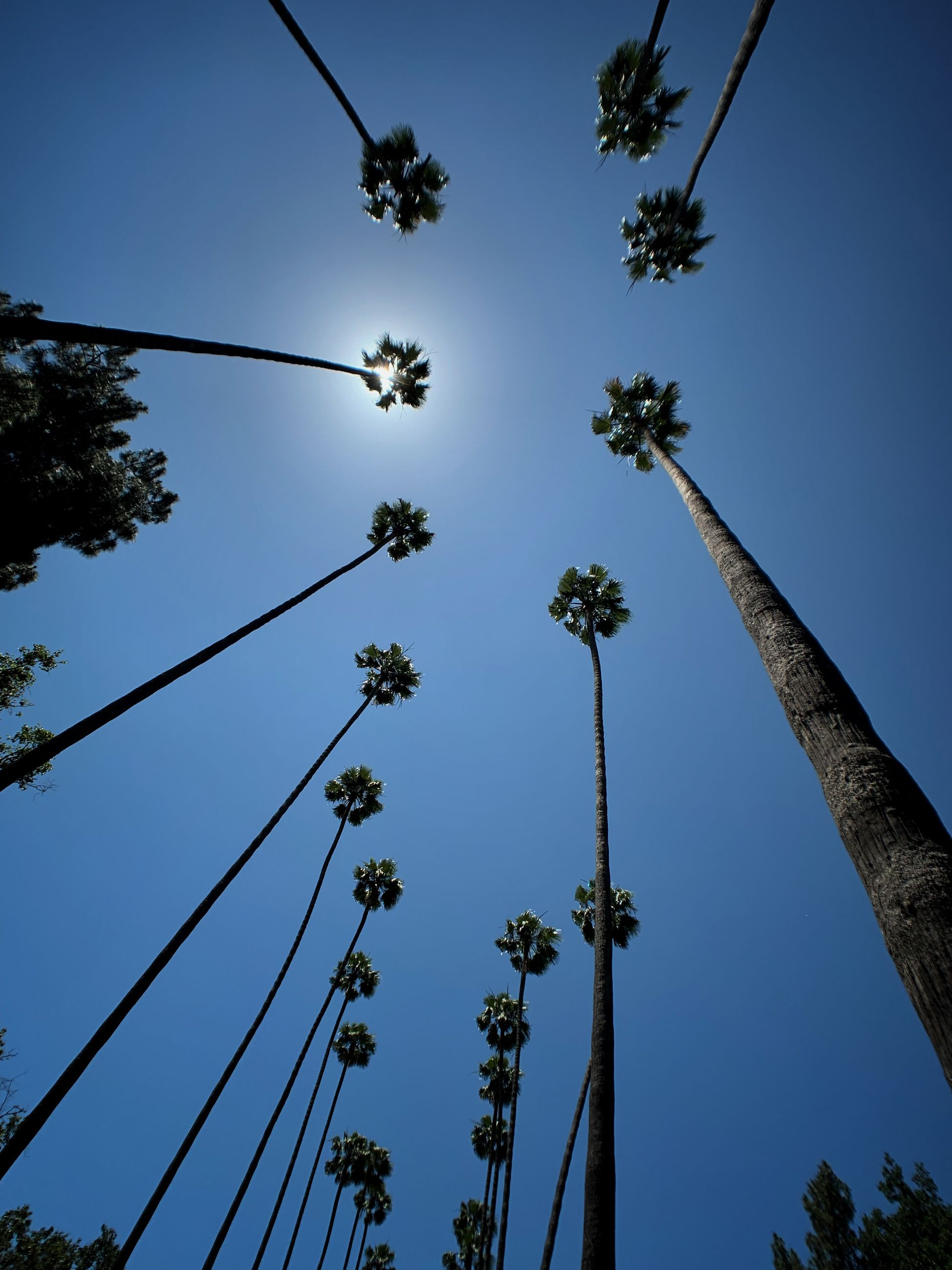 plant, tree, sky, low angle view, growth, clear sky, nature, tall - high, beauty in nature, no people, tree trunk, outdoors, trunk, day, blue, tranquility, branch, palm tree, tropical climate, silhouette, directly below, coconut palm tree