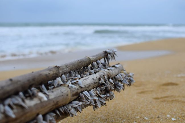 Goose barnacles on bamboo stalks. Beach Sea Sand Outdoors Day Nature Close-up Horizon Over Water No People Water Marine Life Shells Sea Creatures Nature Large Group Of Objects Blurred Background Goose Barnacles