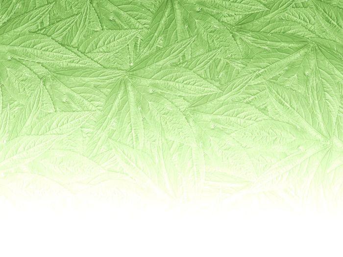 Beautiful Fade Hibiscus Sabdariffa Natural Plant Backdrop Background Backgrounds Close-up Foliage Full Frame Green Color Jamaica Sorrel Leaf Leaves Nature Red Sorrel Roselle Wallpaper White