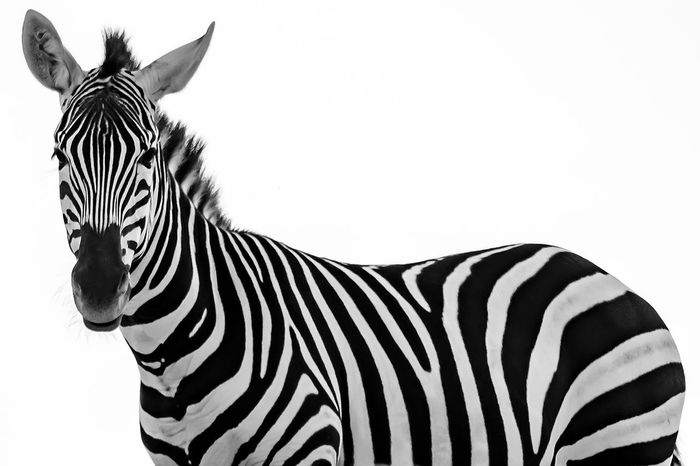 Zebra Animal Markings Animal Themes Animal Wildlife Animals In The Wild Black & White Black And White Close-up Day Mammal Nature No People One Animal Outdoors Safari Animals Standing Striped Stripes Pattern Stripes, White Background Zebra