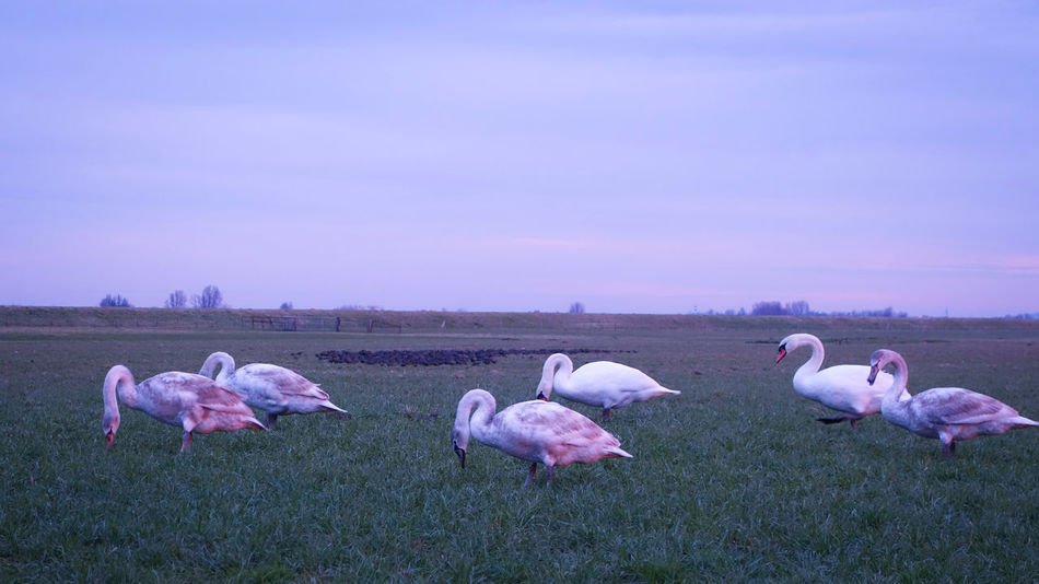 Pink Color Nature Springtime Flower No People Outdoors Beauty In Nature Sky Agriculture Sheep Bird Day Swan Swans Maasland