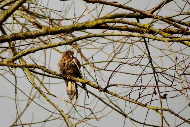 Animal Themes Animal Wildlife Bird Branch Close-up Damp Day Kestral Low Angle View No People Outdoors Perching Sky Premium Collection