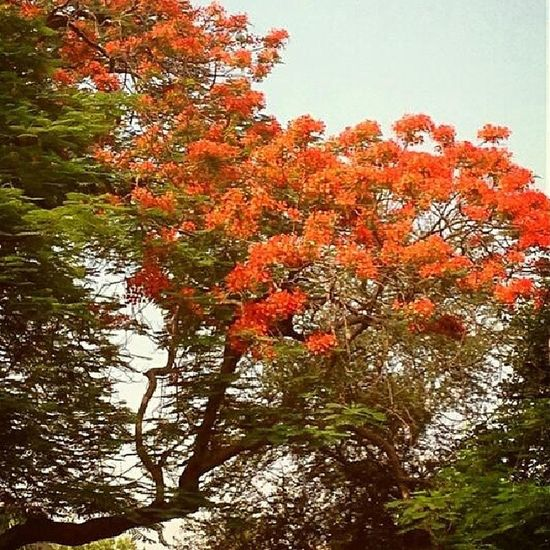 As Summer Approaches, Delhi 's Streets and Parks Yield 2 the Charm of Blooming Gulmohar trees. FlameOfTheForest DelhiSummer Nature Tree