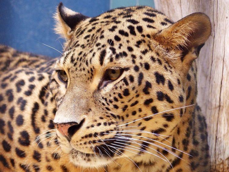 Berlin Zoo Leopard Leica V-lux4