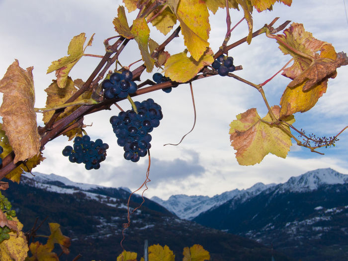 Grapes growing in vineyard against mountains
