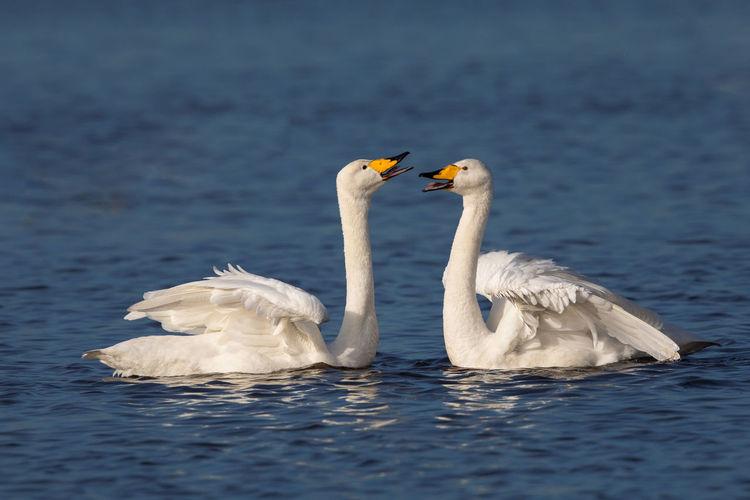 White swans swimming in lake
