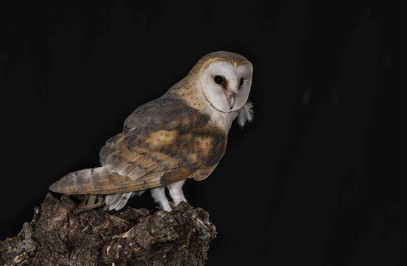 Close-up of owl perching on branch against black background