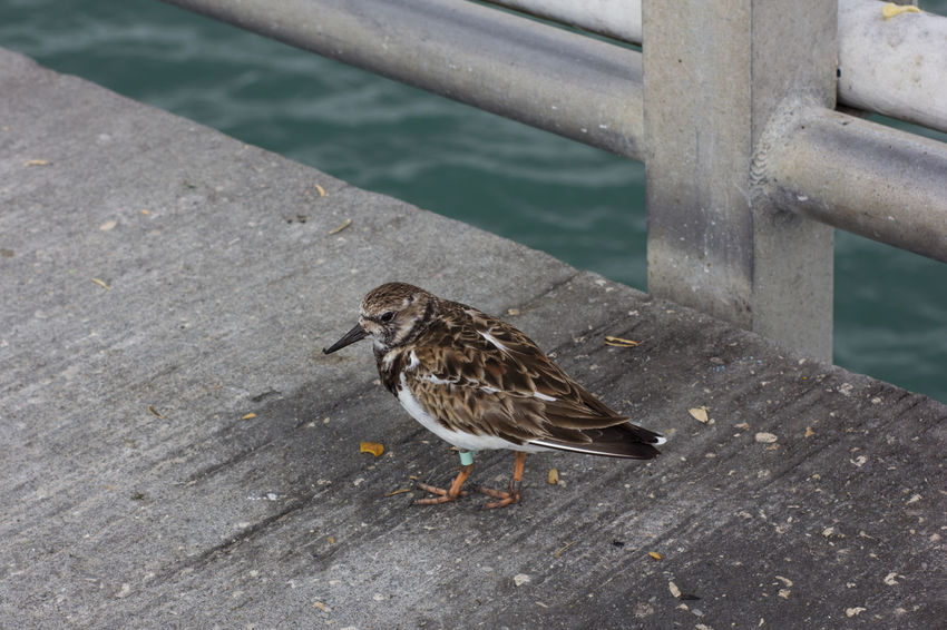 Sand piper on the pier Animal Themes Animal Wildlife Animals In The Wild Bird Close-up Jetty Park No People One Animal Outdoors Perching Pier Sand Piper Single Bird Water