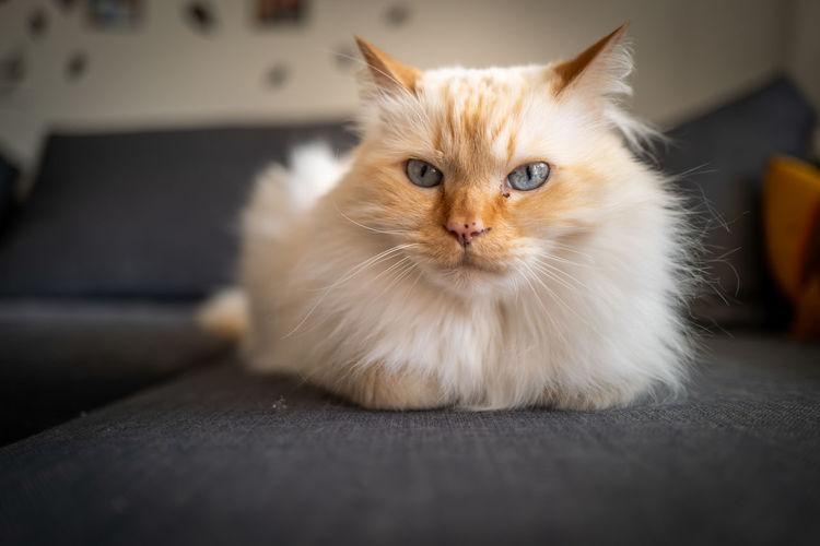Birman Cat Domestic Pets Domestic Animals Mammal Domestic Cat Animal Animal Themes Cat One Animal Feline Vertebrate Whisker Looking At Camera Portrait Indoors  Sofa Furniture No People Relaxation Sitting Persian Cat  Animal Head  Ginger Cat Birman Cat