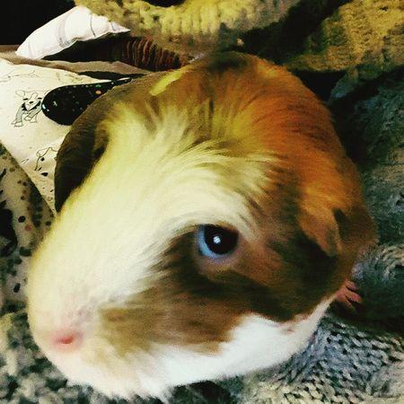 Guinea Pig Pip Squeak