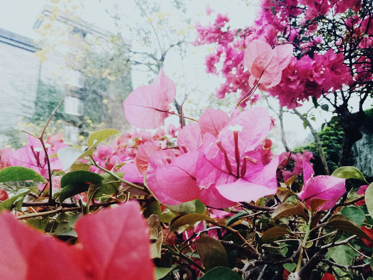 pink color, flower, growth, beauty in nature, fragility, petal, nature, flower head, plant, no people, freshness, leaf, bougainvillea, day, blooming, outdoors, springtime, close-up, tree, branch, periwinkle