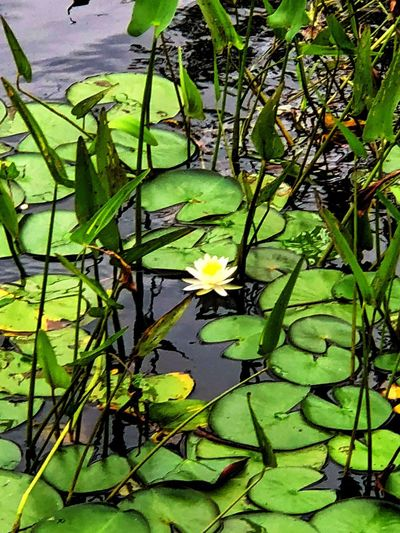 Leaf Plant Part Plant Green Color Growth Water Flower No People Vulnerability  Beauty In Nature Flowering Plant Fragility Nature Floating Floating On Water Close-up Outdoors Lotus Water Lily Water Lily Lake