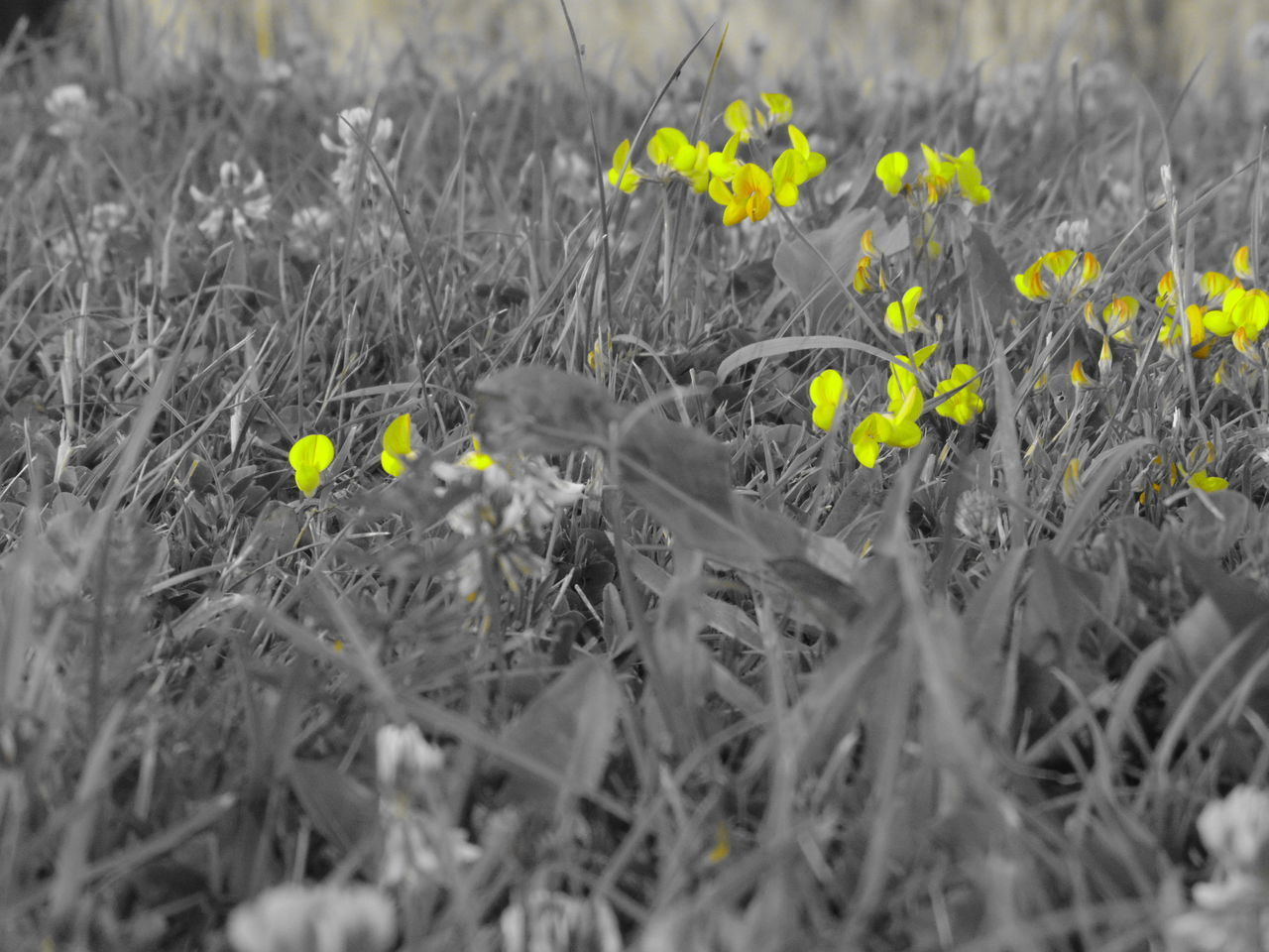 plant, flower, flowering plant, growth, fragility, vulnerability, freshness, selective focus, beauty in nature, field, land, nature, close-up, no people, petal, day, flower head, yellow, inflorescence, outdoors, springtime, spring