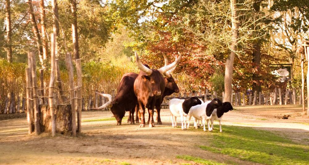 Animal Themes Group Of Animals Animal Mammal Livestock Cattle Sheep Watusi Cattle Watusi Autumn colors Herbivorous Outdoors No People Domestic Cattle Domestic Animals Cow