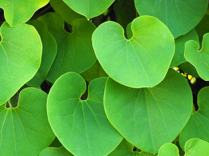 Green heart shape vine leaf of Aristolochia ringens background. Aristolochiaceae Beautiful Nature Aristolochia Background Green Leaf Heart Heart Shape Nature Background Vine Leaf