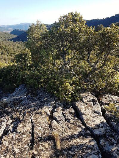 Quecus ilex Holm Oak Montarbu