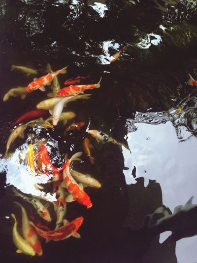 Love Fish Koi Pond
