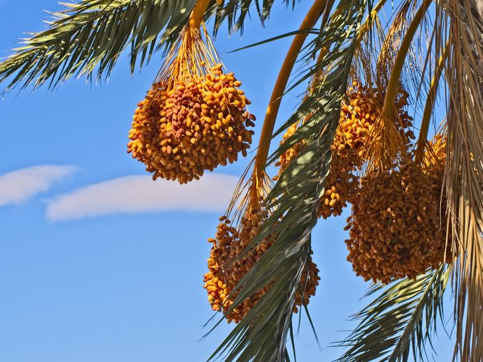 Date Hanging Nature Photography Palm Tree Fruits Palm Tree Leaves Abundance Beauty In Nature Blue Branch Catkin Close-up Date Palm Tree Day Fragility Freshness Growth Low Angle View Nature Nature_collection No People Outdoors Palm Tree Palm Tree And Sky Sky Tree