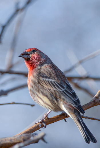 Close-up of common house finch perching on branch