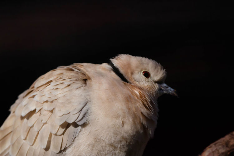 The diamond dove (Geopelia cuneata) is a resident bird in Australia. The dove predominantly exists in areas near water but which are lightly arid or semi-arid in nature, being Central, West and Northern Australia. https://en.wikipedia.org/wiki/Diamond_dove Bird Close-up Beak Nature Perching Animal Wildlife Dove EyeEm Nature Lover