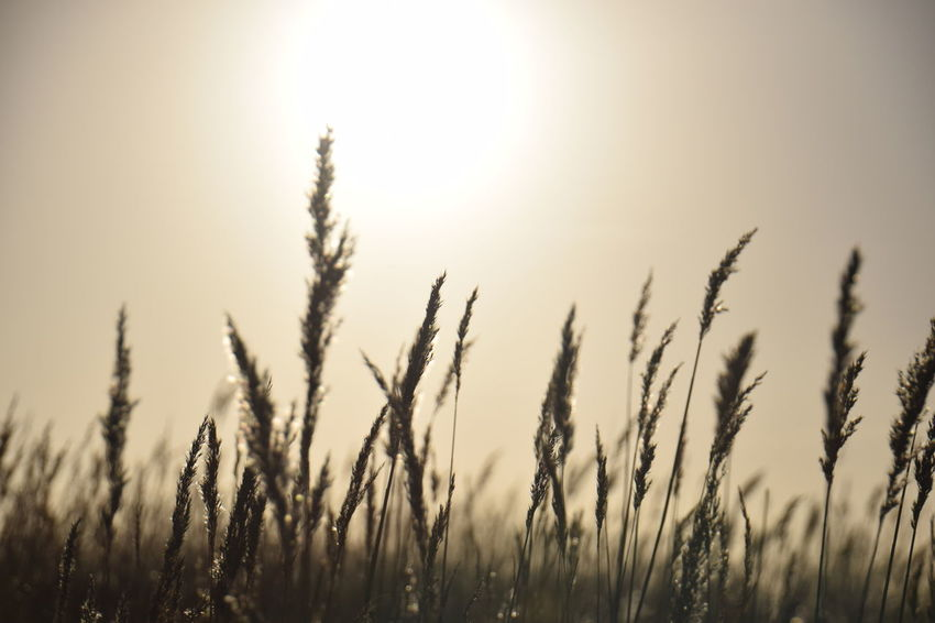 Agriculture Beauty In Nature Cereal Plant Close-up Field Growth Landscape Nature Plant Rural Scene Scenics Silhouette Sunlight Sunset Wheat