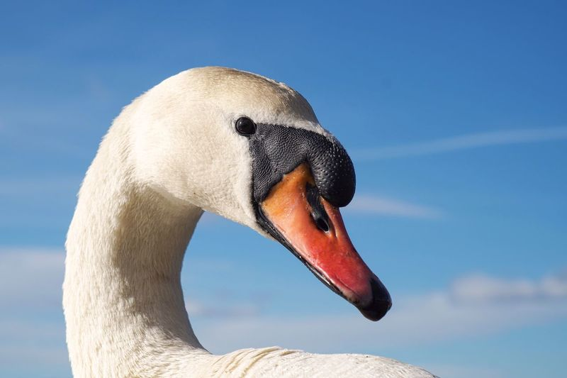Close-Up Side View Of Swan Against Sky