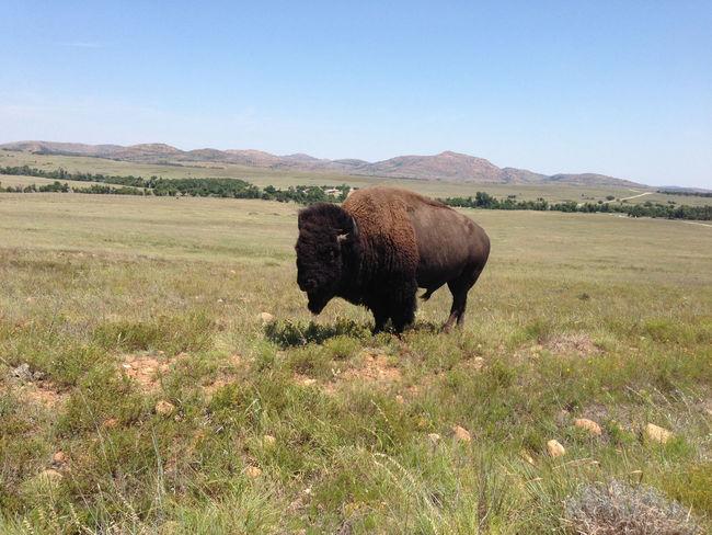 Buffalo Wichita Mountains National Wildlife Refuge Oklahoma