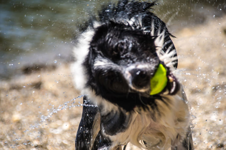 Shake it off Border Collie Action Shot  Animal Animal Head  Animal Mouth Animal Themes Canine Day Dog Domestic Domestic Animals Focus On Foreground Mammal Motion Nature No People One Animal Outdoors Pets Shaking Splashing Vertebrate Water Wet