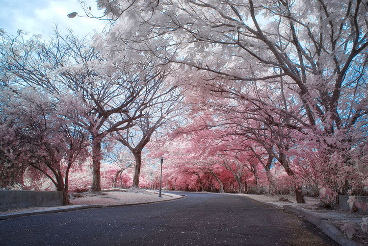 An infrared view of a small jogging track with pink foliage trees. Infrared Autumn Bare Tree Beauty In Nature Branch Change Color Infrared Day Infrared Photography Landscape Landscapes Nature No People Outdoor Photography Outdoors Park Pink Foliage Road Scenics Sky The Way Forward Tranquil Scene Tranquility Tree Tree Trunk