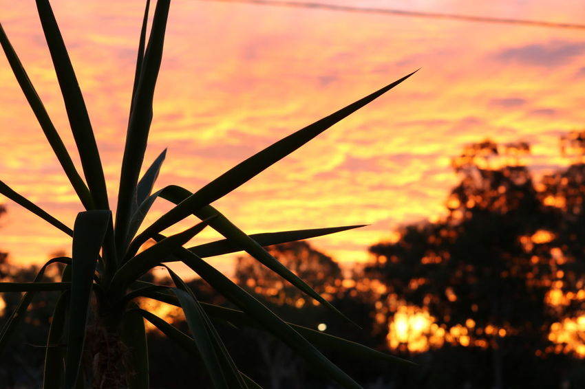 Focus On Foreground Plant Silhouette Sky Sunset
