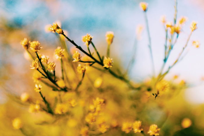 Flower Springtime Nature Rural Scene Blossom Beauty In Nature Plant Sunset Fragility Outdoors Pastel Colored Gold Colored Close-up Branch Sunlight Beauty Bokeh Macro Photography