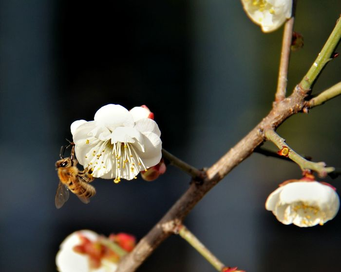 buzz buzz Bee Pollen Flower Arboretum Blossom White Color No People Close-up Branch Plum Blossom Animal Themes Beauty In Nature Outdoors Tree Shades Of Winter