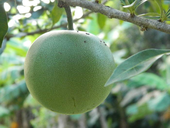 Fruit Plant