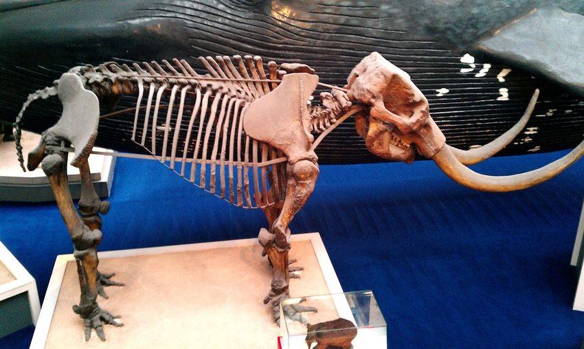 Skeleton Mamooth History Science Museum  Archeology EyeEm Selects Close-up Animal Skeleton Historic Bone  Fossil Prehistoric Era Animal Bone EyeEmNewHere This Is Strength