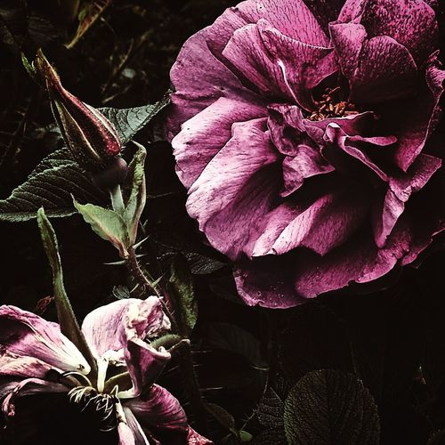 Flower Pink Flower Pink Flowers 花 ハマナス ハマナス Rosa Rugosa Japan Hokkaido Hokkaido Japan
