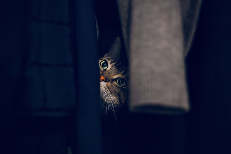 Funny scared tabby pet cat hiding in clothes at closet. adorable furry kitten feline friend.