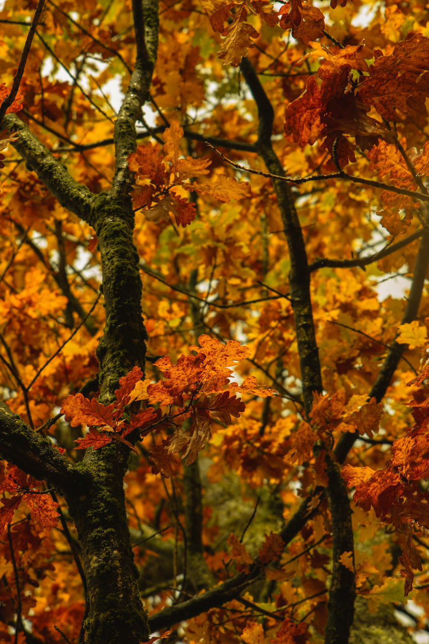 LOW ANGLE VIEW OF AUTUMNAL TREES AGAINST ORANGE LEAVES